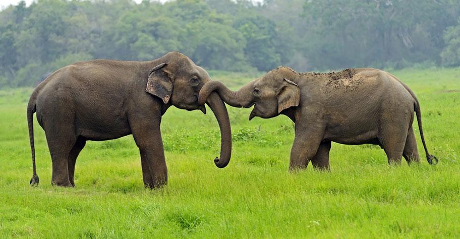 Kaudulla Nationalpark Sri Lanka Elefanten Safari Empfehlung